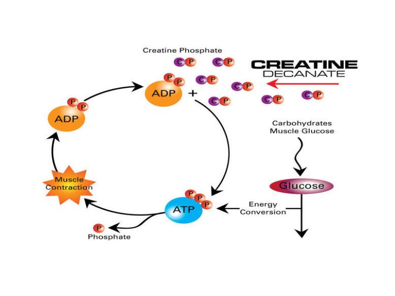 Ce este și cum acționează creatina?